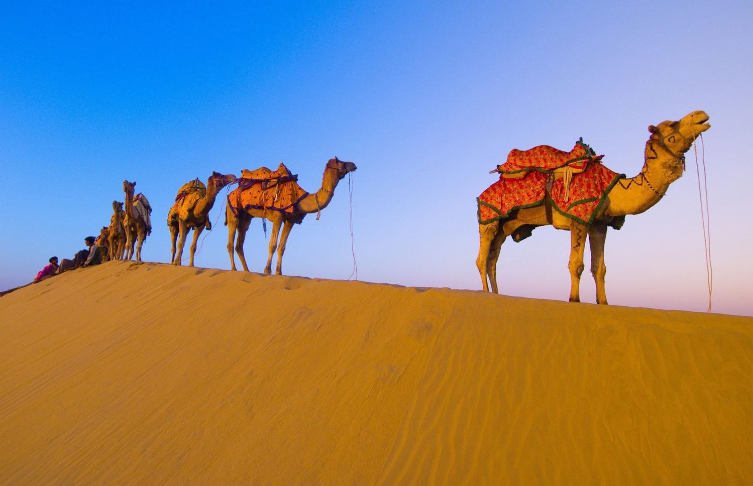 Верблюды в ожидании Фестиваля Аль-Дарфа